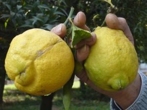 Limonii