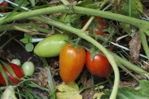 pomodori [byNappo]