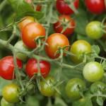 Pomodori ciliegino [byNappo]