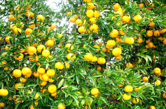 Mandarini2