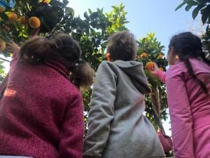 raccolta di mandarini 2020